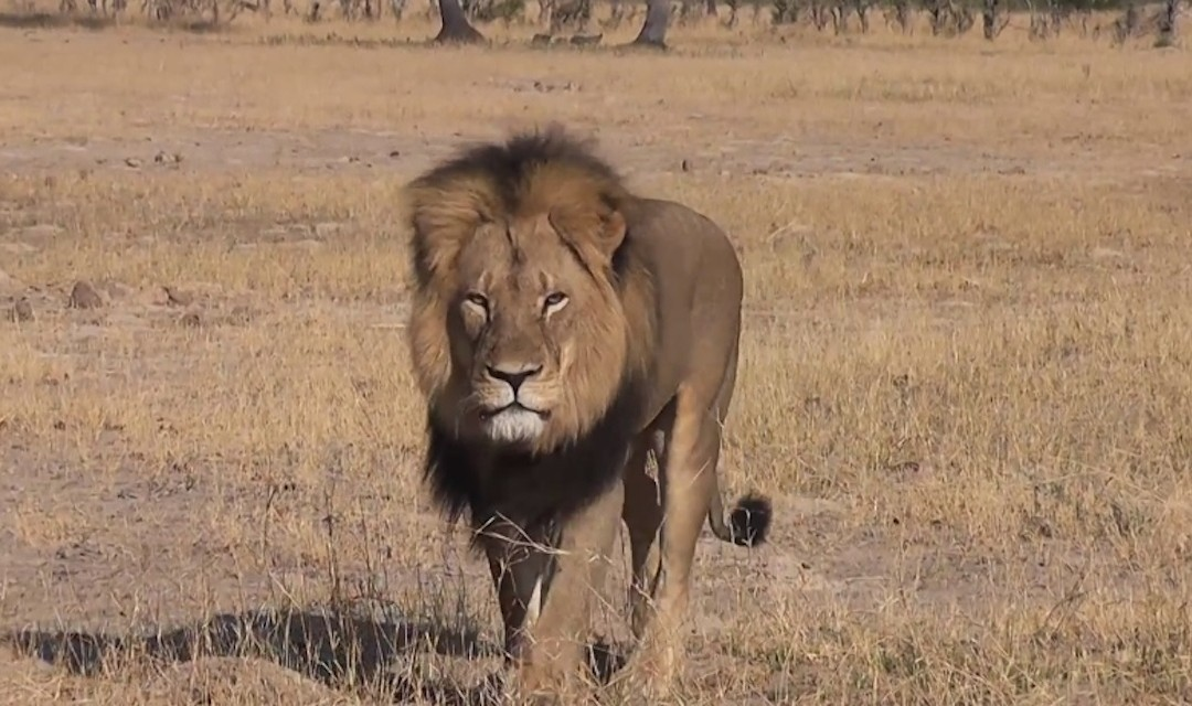 US to ban hunting trophies from Zimbabwe