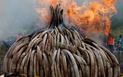 MEPs put pressure on Commission for immediate EU ivory ban