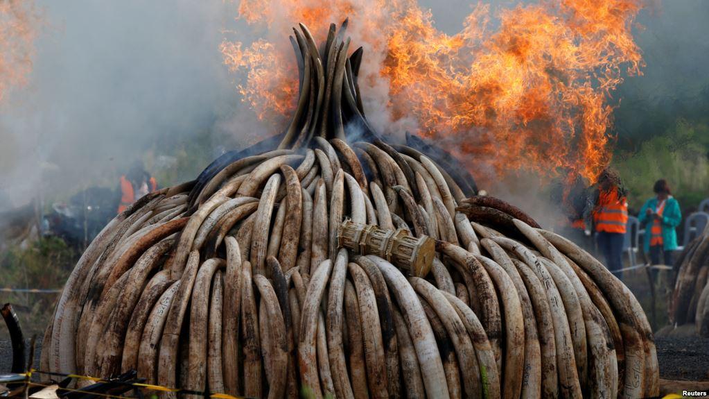 MEPs put pressure on Commission for immediate EU ivory ban
